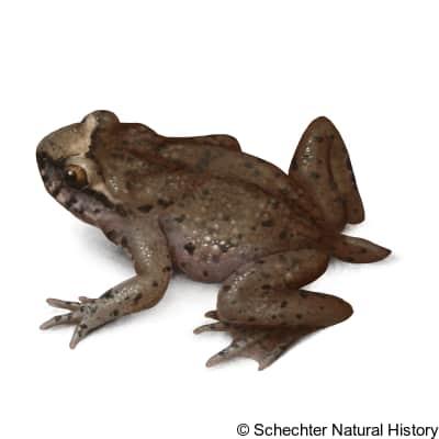 coastal tailed frog