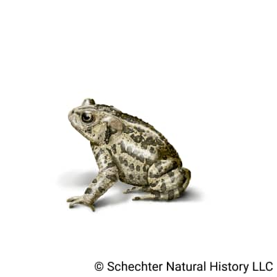 canadian toad