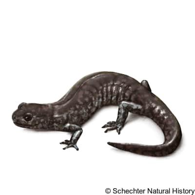 mabee's salamander