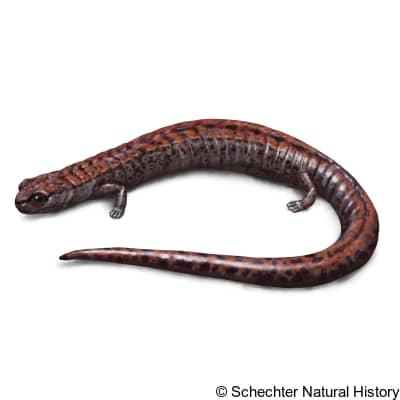 california slender salamander