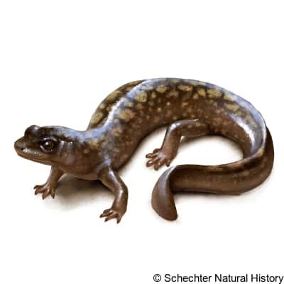 shovel-nosed salamander
