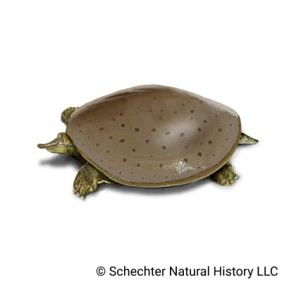 Smooth Softshell Turtle