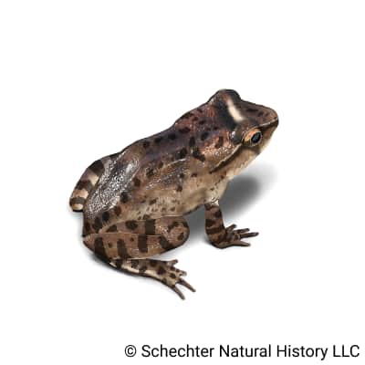 rocky mountain tailed frog