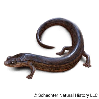 many-lined salamander