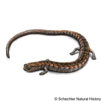 kern canyon slender salamander