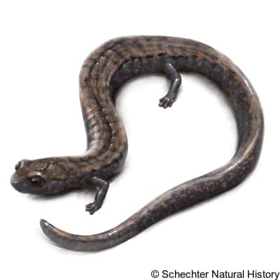 gregarious slender salamander