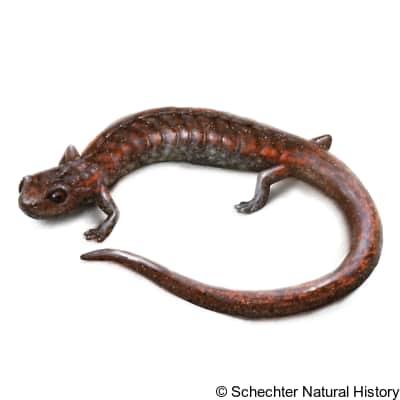 Sequoia Slender Salamander