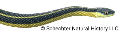 Aquatic Garter Snake