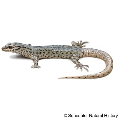 arizona night lizard