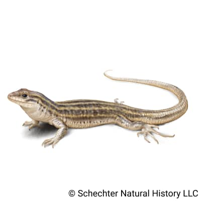 new mexico whiptail