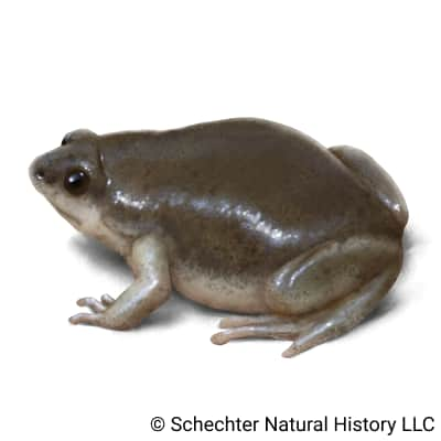 western narrow-mouthed toad