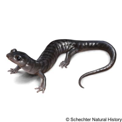 southern gray-cheeked salamander
