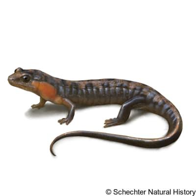 imitator salamander
