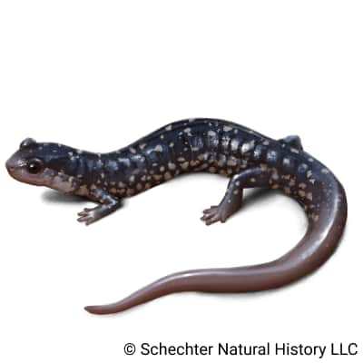white-spotted slimy salamander