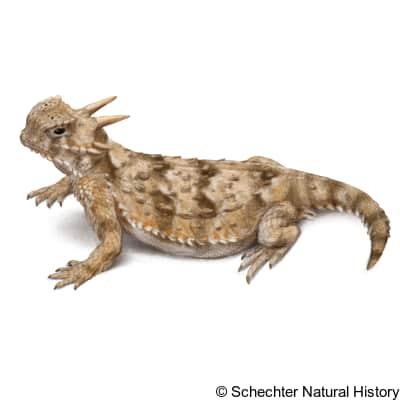 Sonoran Horned Lizard