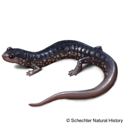 atlantic coast slimy salamander
