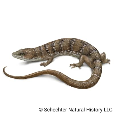texas alligator lizard