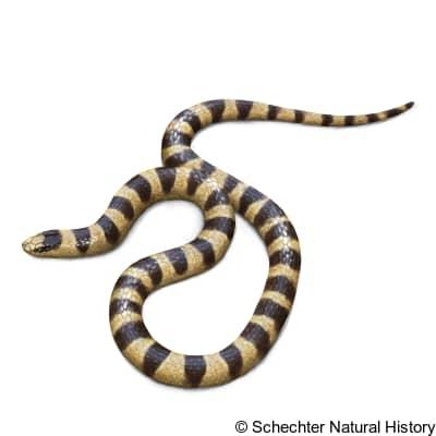 Mohave Shovel-Nosed Snake