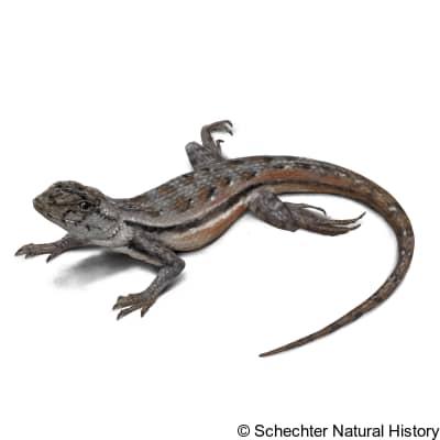 florida scrub lizard