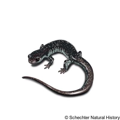 tellico salamander