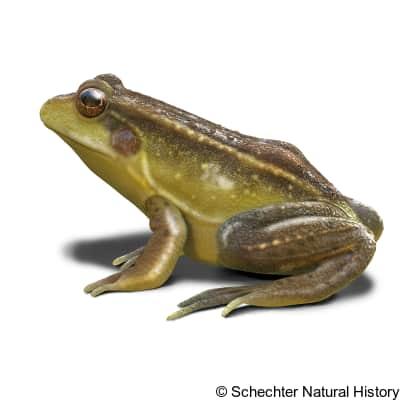 florida bog frog