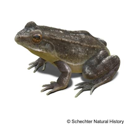tarahumara frog