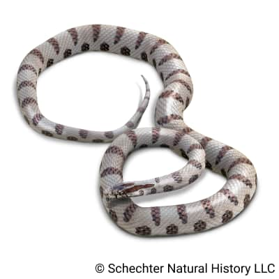 Yellow-bellied Kingsnake