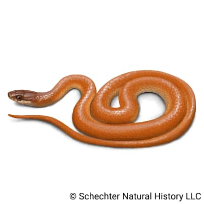 pine woods littersnake