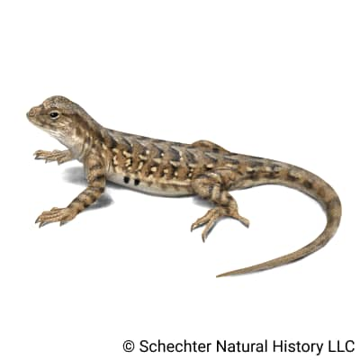 Western Earless Lizard