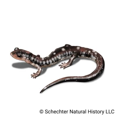 fourche mountain salamander