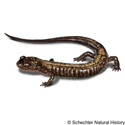 peaks of otter salamander