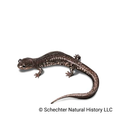 savannah slimy salamander