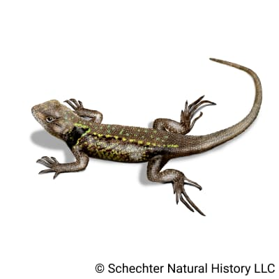 graphic spiny lizard