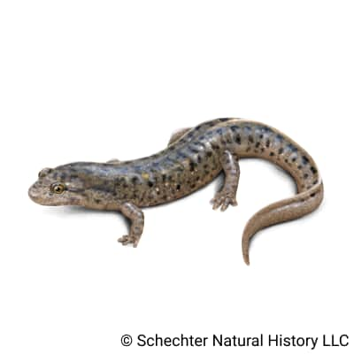 flat-headed salamander