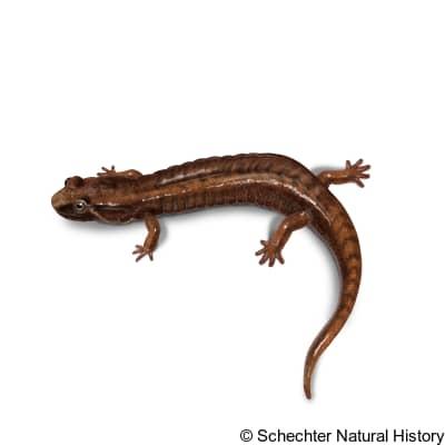northern pygmy salamander