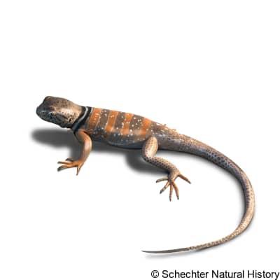 sonoran collared lizard