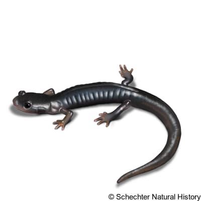 south mountain gray-cheeked salamander