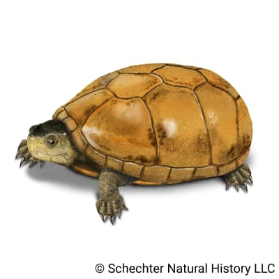 Chihuahuan Mud Turtle