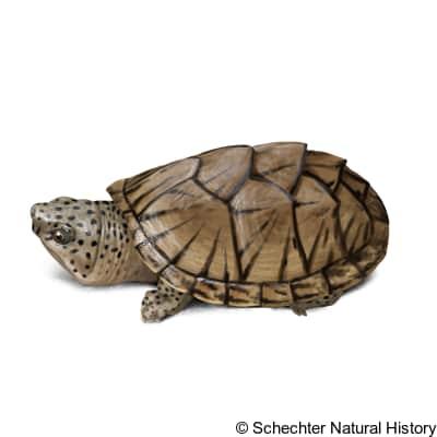 razor-backed musk turtle