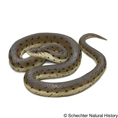 Two-striped Garter Snake