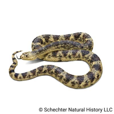 louisiana pinesnake