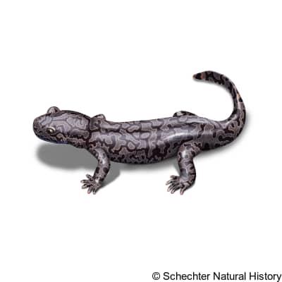 idaho giant salamander