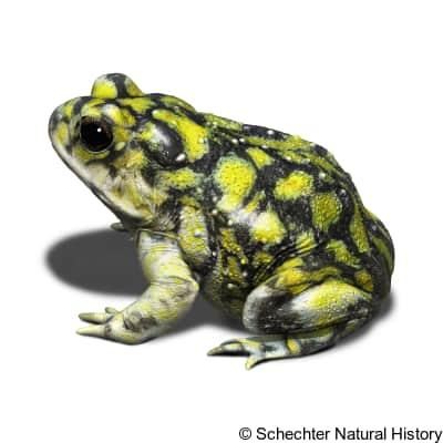 sonoran green toad