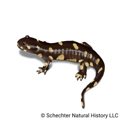 california tiger salamander