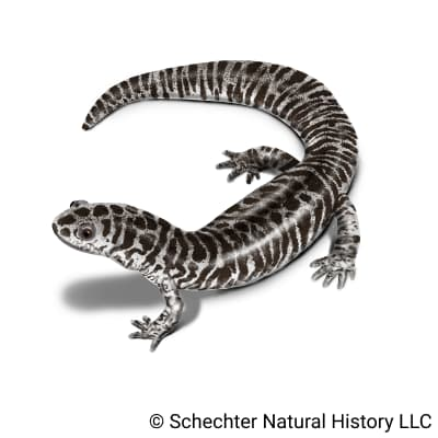 reticulated flatwoods salamander