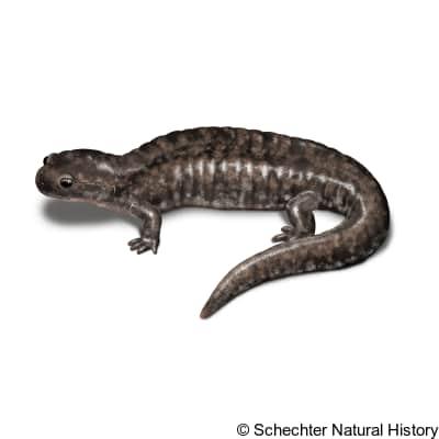 small-mouthed salamander