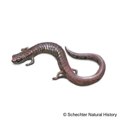 hell hollow slender salamander