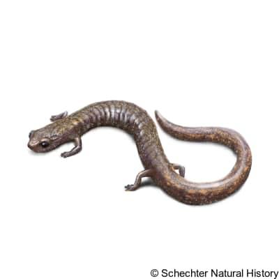 san gabriel mountains slender salamander