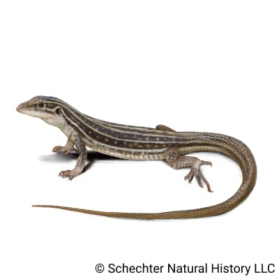 gila spotted whiptail