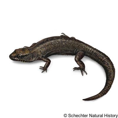 sierra night lizard